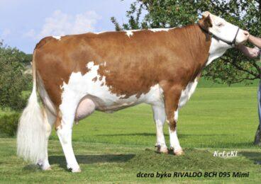 BCH 95  RIVALDO-* zlepšovatel všech znaků fitness br * výborná vlastní plodnost  br * vysoká perzistence laktacebr * nepříbuzný původbr * FITbr * na krávy