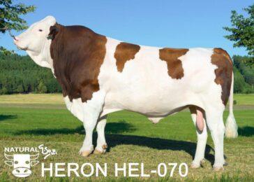 HEL 070 HERON-* skvělá vlastní plodnost br * excelentní vemena br * mléčný výkonbr * 100% montbeliard