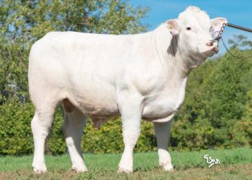ICH 720 DOMINIC P-* Skvělá matka * Vyrovnaný exteriér * Maternální efekt * na krávy