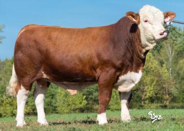 ISI 023 DUBLER V-* Exteriér 81 bodů  * Osvalení, kapacita * na krávy