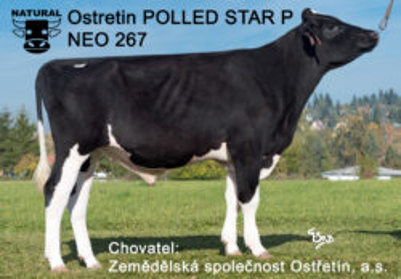 NEO 267 POLLEDSTAR-* super GENETICKY BEZROHÝ býk * otec býků * bez Lawn Boye v původu * FIT