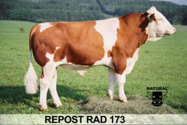 RAD 173 REPOST-* vysoké mléko br * výborný zevnějšek        br * pevné spěnky     br