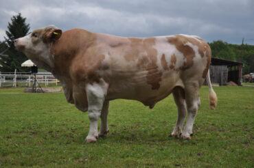 REX 014 NARRO-* skvělé mléko a utváření končetin * zajímavý původ * snadné porody * vhodný na jalovice