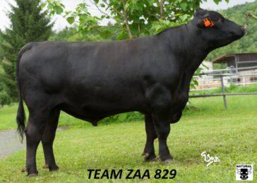 ZAA 829 TEAM-* výborně rostoucí telata * red faktor * skvělý exteriér 83 bodů * tělesný rámec * na krávy