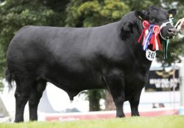 ZAI 785 RODGER-* Grand Champion bull skotské Royal Highland Show 2017 * IV. Angus Show 2018: Šampión plemene, Národní vítěz starší plemenní býci * Nominován do mezinárodní soutěže Angus of the World 2018 * na krávy