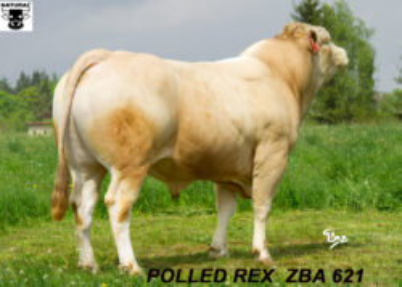 ZBA 621 POLLED REX-* GENETICKY BEZROHÝ * čistokrevná plemenitba i křížení * výborný růst * na krávy