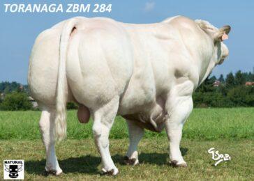 ZBM 284 TORANAGA-* z chovu Zandeind Nizozemskobr * bílé zbarveníbr * výborná rodinabr * růst, osvaleníbr * skvělý pro kříženíbr * na krávy