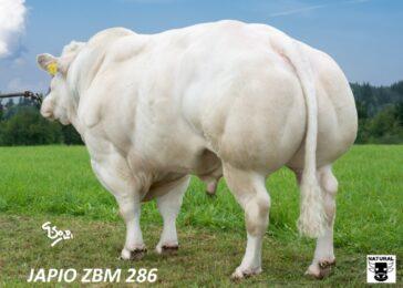 ZBM 286 JAPIO-* býk dovezen z Holandska * bílé zbarvení * skvělý v křížení * snadné telení * na jalovice