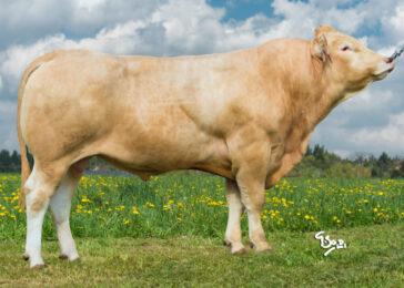 ZBQ 073 BLONDIE P-* Dánsko - francouzský původ * Vynikající růst * heterozygot bezrohý * na krávy