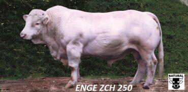 ZCH 250 ENGE-* býk dovezen z Francie * užitkové křížení * na jalovice * poslední dávky