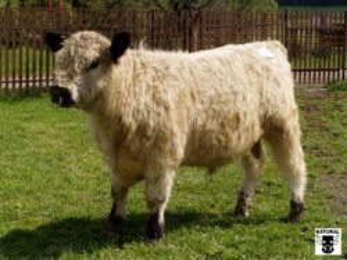 ZGA 293 MALíK-* zbarvení WHITE PARK * temperamentní býk menšího rámce s výraznou hloubkou těla * na jalovice