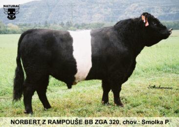 ZGA 320 NORBERT-* zbarvení BELTED BLACK * typický představitel plemene * na jalovice