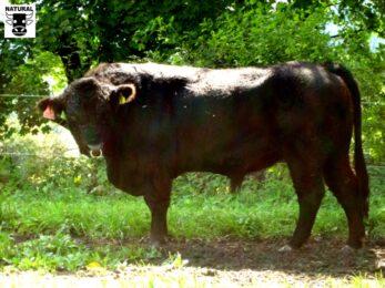 ZGA 401 KASS V51-* zbarvení plášťově černý * dovoz býka z Německa * mimořádně velký rámec