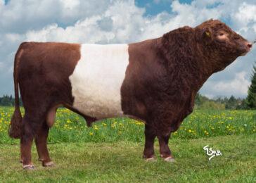 ZGA 543 ODIN-* Import býka z Dánska * Nepříbuzný * zbarvení BELTED RED * Neovyklá kombinace barvy a zbarvení * na jalovice