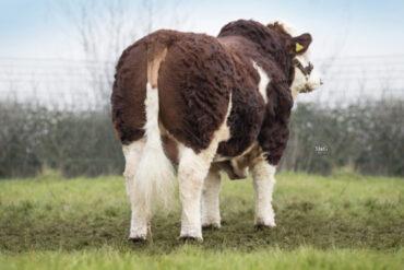 ZMS 636 FERRARI-* PH mléko +9 patří k top 1% * osvalení * ID dovoz z Velké Británie * na krávy