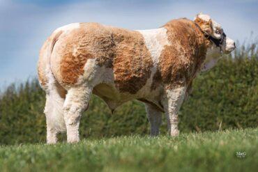ZMS 693 GINO-* PH mléko +10% patří k top 1% * osvalení * dovoz ID Velká Británie * na krávy
