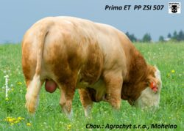ZSI 507 PRIMA ET PP-* homozygotně bezrohý * výborné dcery-maternální efekt růst 118 * na krávy