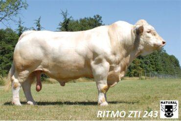 ZTI 243 RITMO-* dovoz ID z Franciebr * pro čistokrevnou plemenitbubr * na krávy